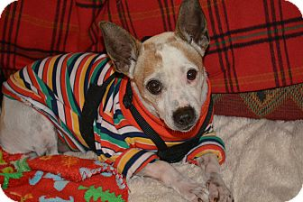Rat Terrier/Jack Russell Terrier Mix Dog for adoption in Homewood, Alabama - Barney