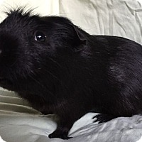 Adopt A Pet :: Critter - Highland, IN