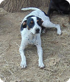 German Shorthaired Pointer Mix Dog for adoption in Olympia, Washington - Snoopy