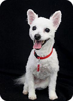 Pomeranian/Maltese Mix Dog for adoption in Wichita, Kansas - Foxy Loxy