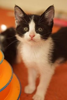 Domestic Shorthair Kitten for adoption in Los Angeles, California - Julie