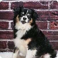 Adopt A Pet :: BRODY - Delaware, OH
