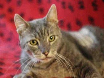 Domestic Mediumhair Cat for adoption in Austin, Texas - *HERBIE