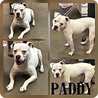 Adopt A Pet :: Paddy - Steger, IL