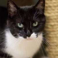 Domestic Shorthair/Domestic Shorthair Mix Cat for adoption in Norman, Oklahoma - Gabby