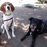 Adopt A Pet :: Apollo & Callahan - Seal Beach, CA