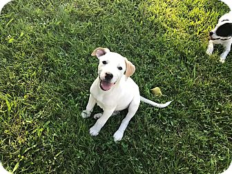 Jack Russell Terrier/Australian Cattle Dog Mix Puppy for adoption in Gallatin, Tennessee - Jerry