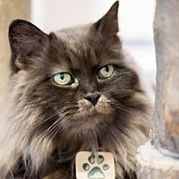 Domestic Longhair Cat for adoption in Montreal, Quebec - Alice