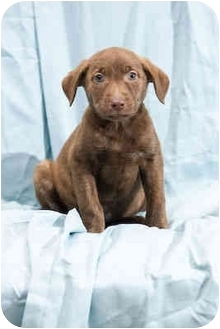 Labrador Retriever Mix Puppy for adoption in Portland, Oregon - Dru