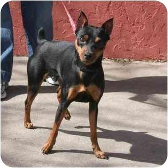 Miniature Pinscher Dog for adoption in Denver, Colorado - Taz