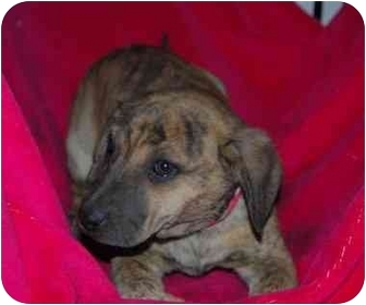 Shepherd (Unknown Type)/Plott Hound Mix Puppy for adoption in Broomfield, Colorado - Harriet