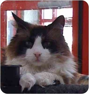 Snowshoe Cat for adoption in Palatine, Illinois - OLIVER