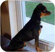 Miniature Pinscher Dog for adoption in Florissant, Missouri - Charlie