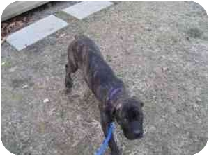 Cane Corso Puppy for adoption in New York, New York - Sassy-NJ