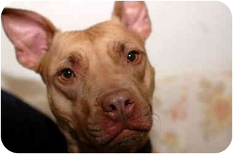 Pit Bull Terrier/American Pit Bull Terrier Mix Dog for adoption in New Rochelle, New York - Valentine