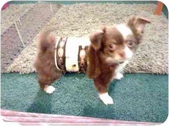 Chihuahua Dog for adoption in SCOTTSDALE, Arizona - Bentley