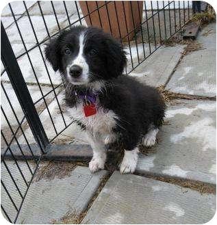 Border Collie Mix Puppy for adoption in Ile-Perrot, Quebec - JASMINE