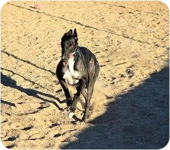 Greyhound Dog for adoption in Tucson, Arizona - Molly