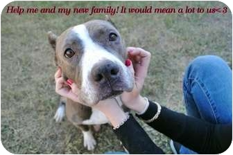 American Pit Bull Terrier Mix Dog for adoption in Orlando, Florida - Meeka