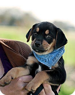 Beagle/Labrador Retriever Mix Puppy for adoption in Portsmouth, Rhode Island - Sloane