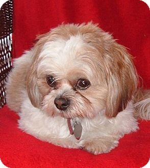 Shih Tzu Dog for adoption in Eden Prairie, Minnesota - LOUIE
