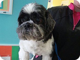 Shih Tzu Mix Dog for adoption in Philadelphia, Pennsylvania - JoJo