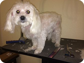 Maltese Dog for adoption in Naples, Florida - Abby