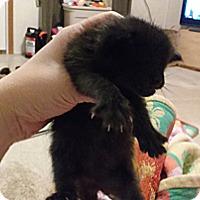 Adopt A Pet :: Guy Guy - KANSAS, MO