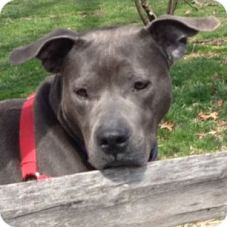 Staffordshire Bull Terrier/Labrador Retriever Mix Dog for adoption in Eatontown, New Jersey - Jubilee