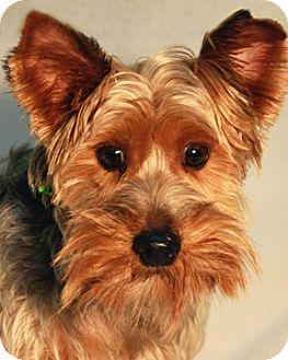 Silky Terrier Dog for adoption in Warner Robins, Georgia - Tucker