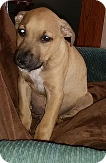 Pit Bull Terrier/Labrador Retriever Mix Puppy for adoption in North Olmsted, Ohio - Guinness