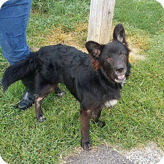 Flat-Coated Retriever/German Shepherd Dog Mix Dog for adoption in Lisbon, Ohio - FatBoy