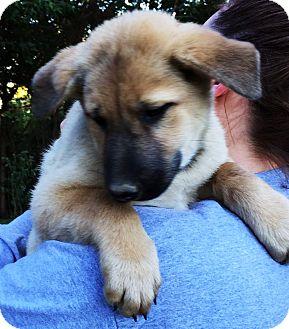 German Shepherd Dog Mix Puppy for adoption in Pewaukee, Wisconsin - Dublin
