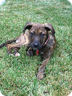Boxer/Labrador Retriever Mix Puppy for adoption in Nashville, Tennessee - STELLA