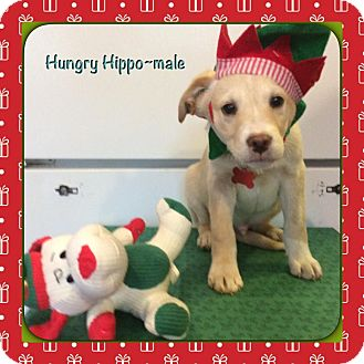 Pointer/Hound (Unknown Type) Mix Puppy for adoption in Harmony, Glocester, Rhode Island - Hungry Hippo
