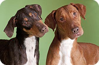 Doberman Pinscher/Vizsla Mix Dog for adoption in Chicago, Illinois - Gadget & Gage