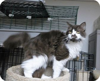 Domestic Longhair Cat for adoption in North Wilkesboro, North Carolina - Penneloop
