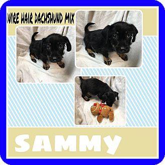 Dachshund Puppy for adoption in Vancouver, British Columbia - Sammy