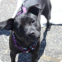 Adopt A Pet :: Lola - Shrewsbury, NJ