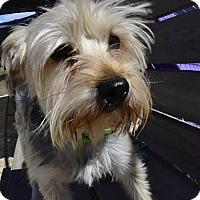 Adopt A Pet :: Oso - Meridian, ID