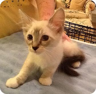 Siamese Kitten for adoption in San Antonio, Texas - Daisy