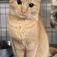Domestic Shorthair Cat for adoption in Johnson City, Tennessee - Sasha