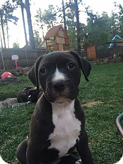 Mastiff/Labrador Retriever Mix Puppy for adoption in Cave Creek, Arizona - Annie
