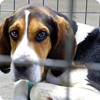 Adopt A Pet :: Tom - Marlinton, WV