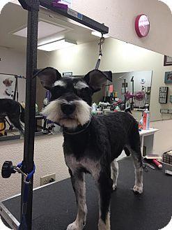 Miniature Schnauzer Dog for adoption in Denver, Colorado - Mia