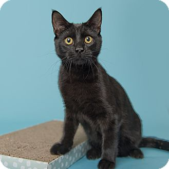 Domestic Shorthair Cat for adoption in Wilmington, Delaware - Rocky