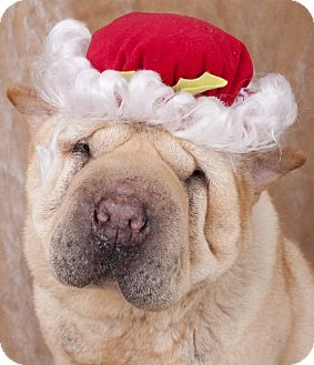 Shar Pei Dog for adoption in Chicago, Illinois - Princess