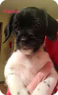Cocker Spaniel Mix Puppy for adoption in Sugar Grove, Illinois - Precious