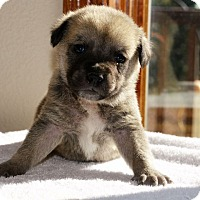 Adopt A Pet :: Killian - Denver, CO