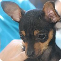Adopt A Pet :: Twinkle - Norwalk, CT
